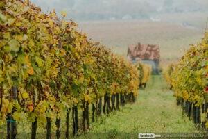 Szőlő ősz